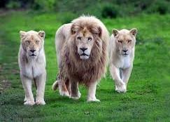 oroszláncsalád