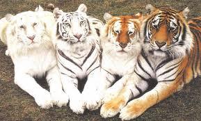tigriscsoport